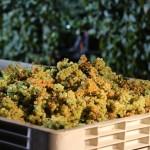 Výroba vína krok po kroku