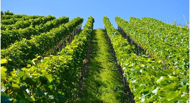 Klimatické změny mohou ovlivnit chuť vašeho oblíbeného vína