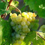 Slámové víno ceny