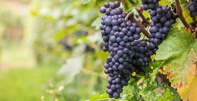 Pinot Noir – víno ze starobylé oblasti Burgundska