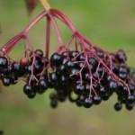 Jak si udělat bezinkové víno